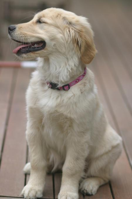 LiLu the Golden Retriever Pictures 781536