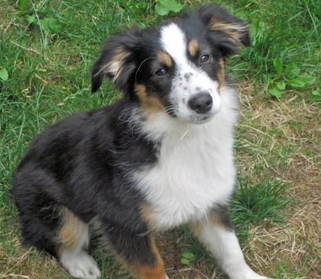 Lily the Australian Shepherd Pictures 977226