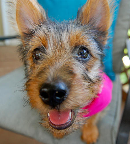 Lily the Australian Terrier Pictures 1026071
