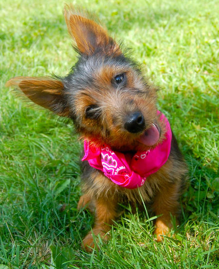 Lily the Australian Terrier Pictures 1026072