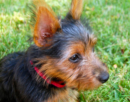 Lily the Australian Terrier Pictures 1026073