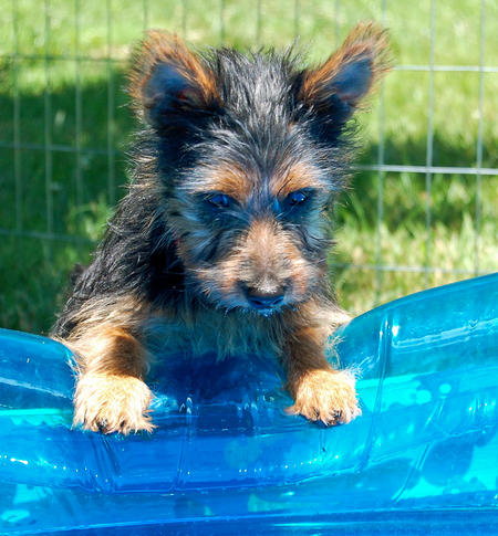 Lily the Australian Terrier Pictures 1026076