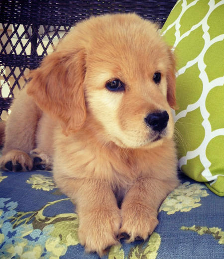 Lily the Golden Retriever Pictures 782555