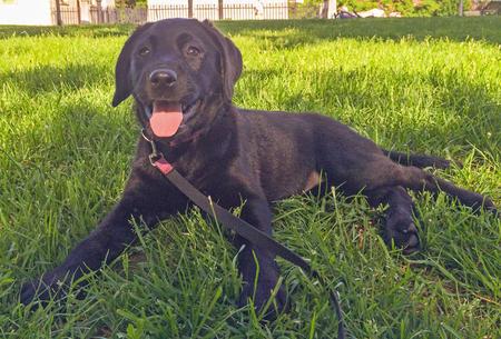 Lily the Labrador Retriever Pictures 1022979