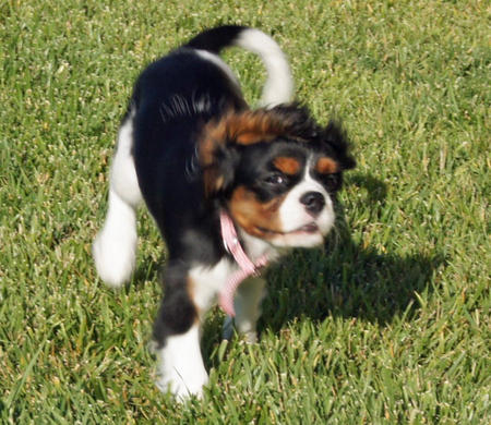 Lizzie the Cavalier King Charles Spaniel Pictures 639310
