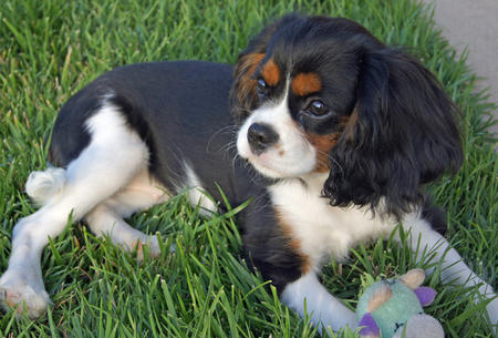 Lizzie the Cavalier King Charles Spaniel Pictures 639311