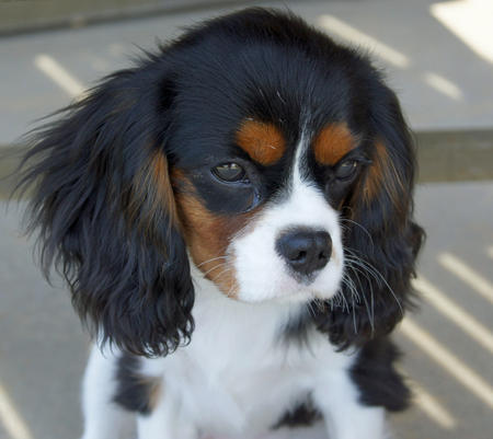 Lizzie the Cavalier King Charles Spaniel Pictures 639312