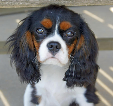 Lizzie the Cavalier King Charles Spaniel Pictures 639313