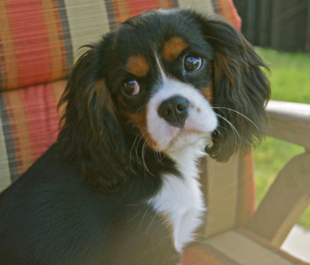 Lizzie the Cavalier King Charles Spaniel Pictures 639307
