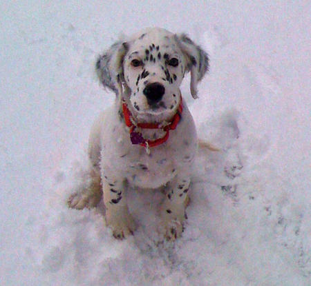 Lizzie the English Setter Pictures 861454