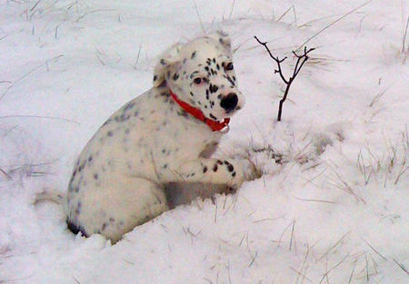 Lizzie the English Setter Pictures 861455