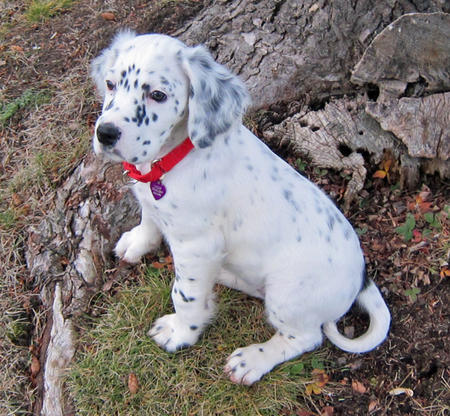 Lizzie the English Setter Pictures 861456