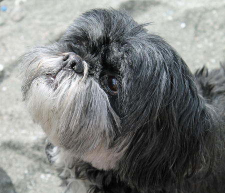 Lizzy the Lhasa Apso Pictures 1017223