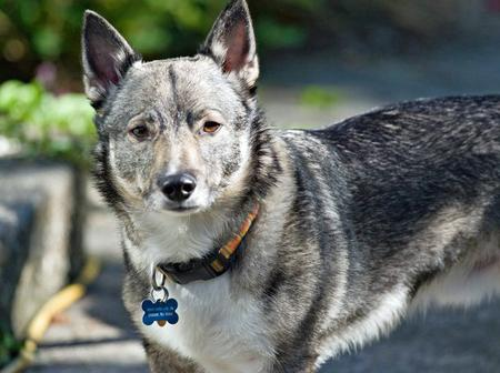 Loki the Swedish Vallhund Pictures 658516