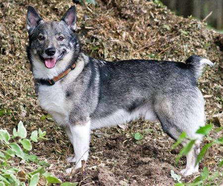 Loki the Swedish Vallhund Pictures 658514