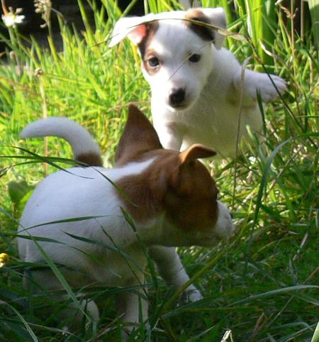 Lola and Eddie the Jack Russell Terriers Pictures 417006