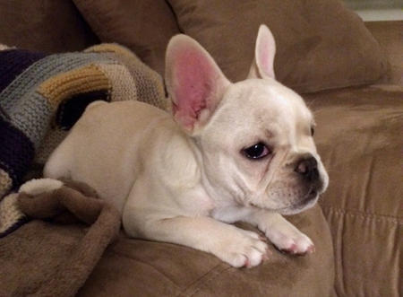 Lola the French Bulldog Pictures 997475