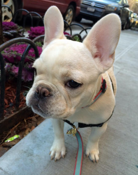 Lola the French Bulldog Pictures 997477