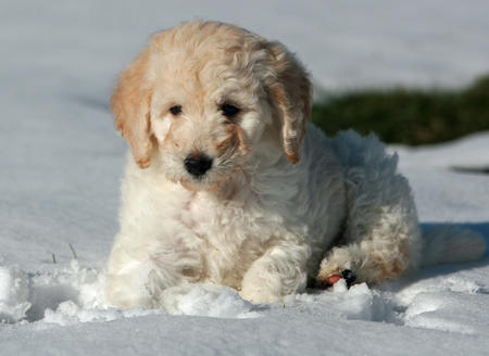 Lola the Labradoodle Pictures 998552
