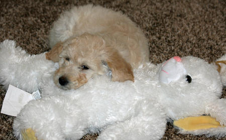 Lola the Labradoodle Pictures 998554