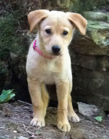 Lola the Labrador Mix Pictures 928026