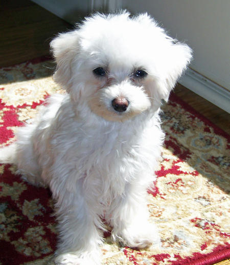 Lola the Maltipoo Pictures 846541