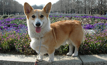 Lola the Pembroke Welsh Corgi Pictures 567234