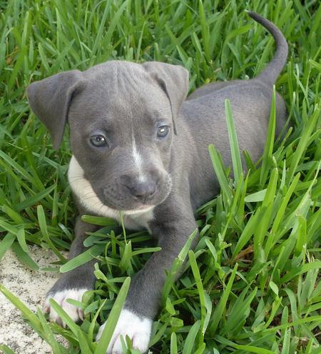 Lola the Pit Bull Terrier Pictures 1050385