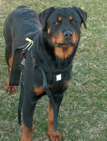 Lola the Rottweiler Pictures 475409