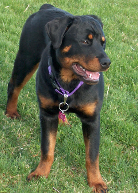 Lola the Rottweiler Pictures 475411