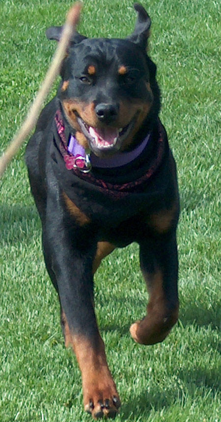Lola the Rottweiler Pictures 475415