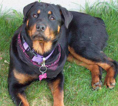 Lola the Rottweiler Pictures 475408