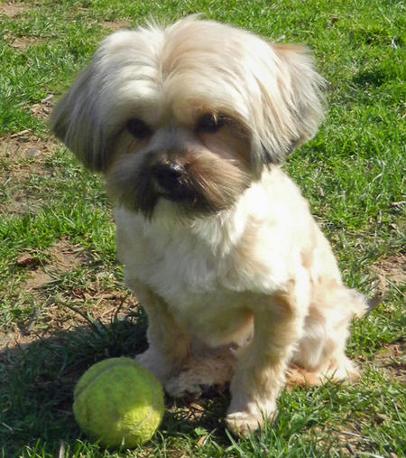 Lola the Shih Tzu Mix Pictures 577160