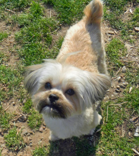 Lola the Shih Tzu Mix Pictures 434617