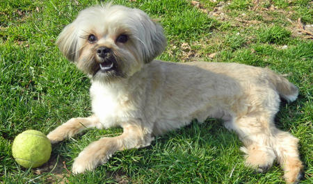 Lola the Shih Tzu Mix Pictures 434620