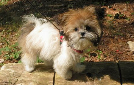 Lola the Shih Tzu Mix Pictures 434621
