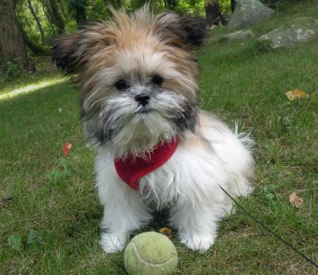 Lola the Shih Tzu Mix Pictures 434615