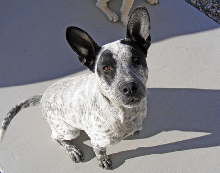Lolly the Cattle Dog Mix Pictures 949246