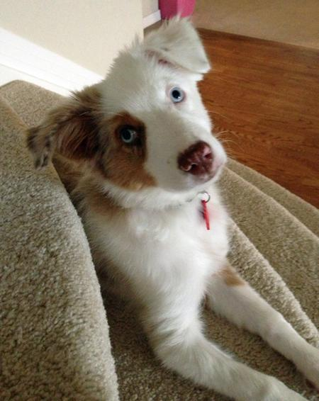 Lottie the Australian Shepherd Pictures 982554