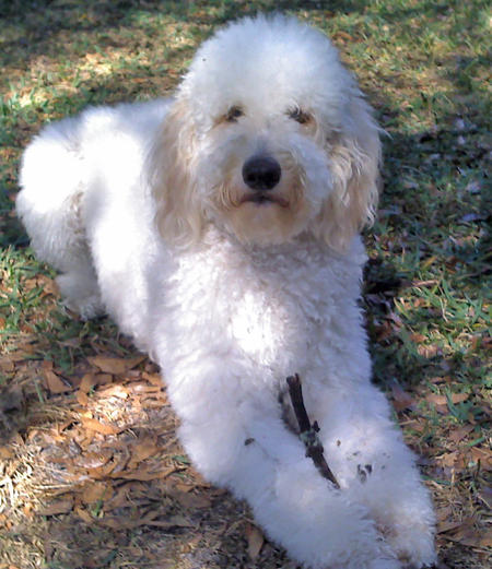 Lotus the Poodle Mix Pictures 855021