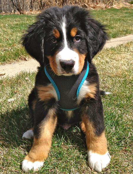 Louie the Bernese Mountain Dog Pictures 987927