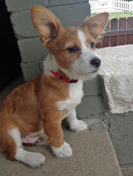 Louie the Corgi Mix Pictures 991204