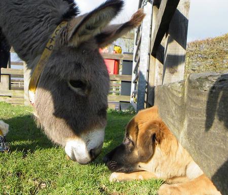 Louie the Estrela Mountain Dog Pictures 508844