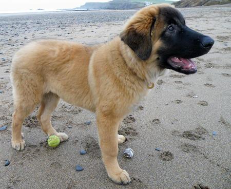 Louie the Estrela Mountain Dog Pictures 508847