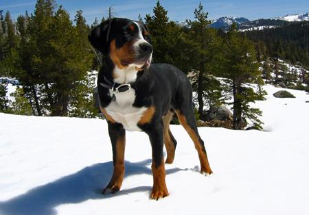 Louie the Greater Swiss Mountain Dog Pictures 455671