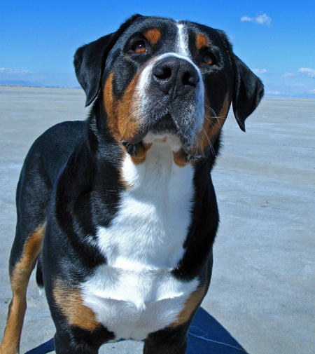 Louie the Greater Swiss Mountain Dog Pictures 455674