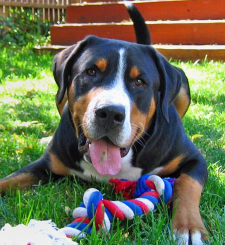 Louie the Greater Swiss Mountain Dog Pictures 455670