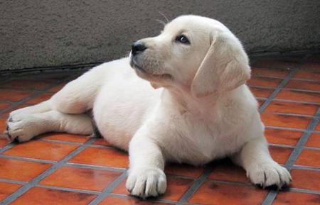 Louie the Labrador Retriever Pictures 939783