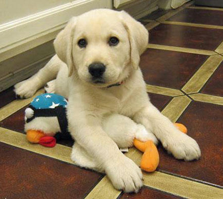 Louie the Labrador Retriever Pictures 939784