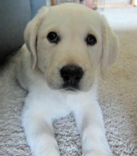 Louie the Labrador Retriever Pictures 939785